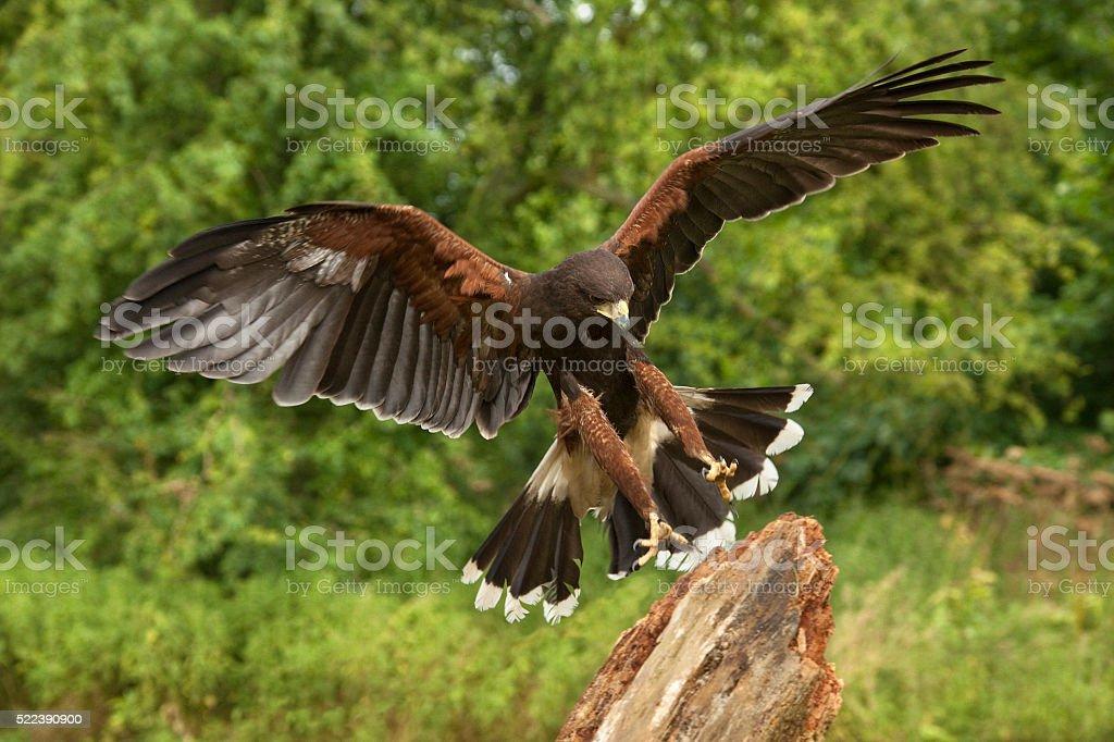 Harris Hawk - Ecuador - South America stock photo