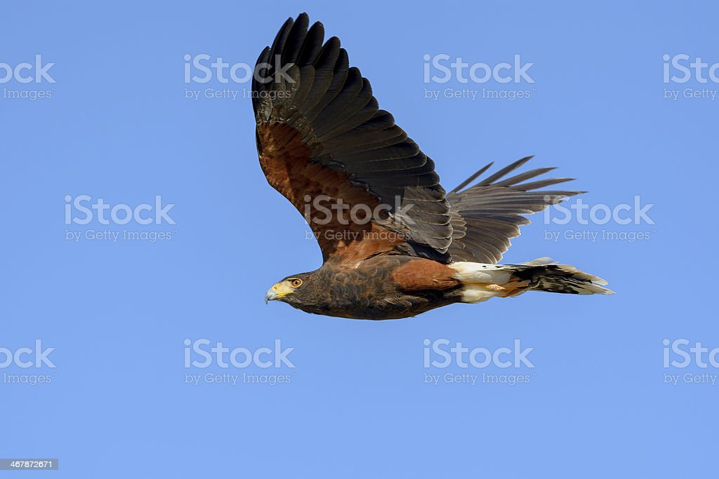 Harris Hawk in Flight stock photo