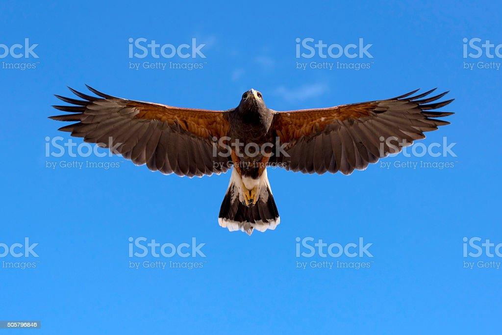 Harris Hawk in fright stock photo