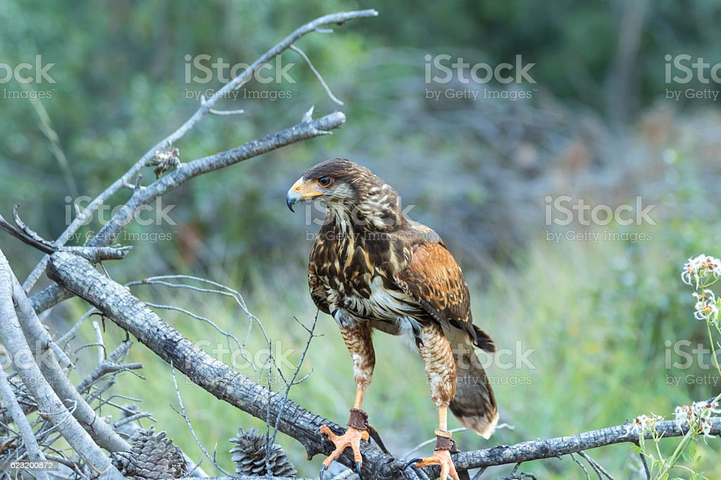 Harris hawk in the forest stock photo