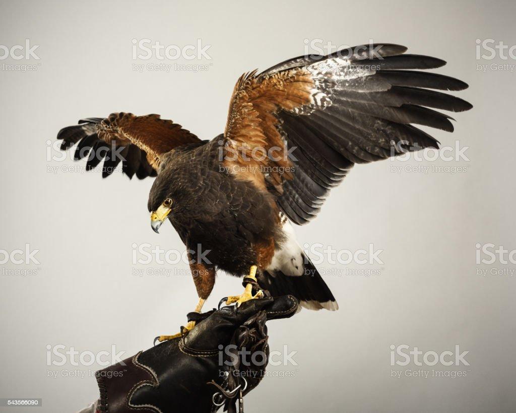 Harris hawk landing stock photo