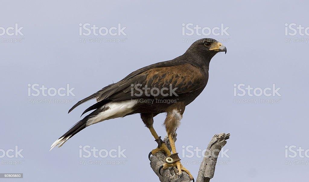 Harris' Hawk - Parabuteo unicinctus royalty-free stock photo