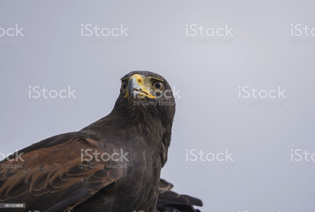 Harris hawk royalty-free stock photo