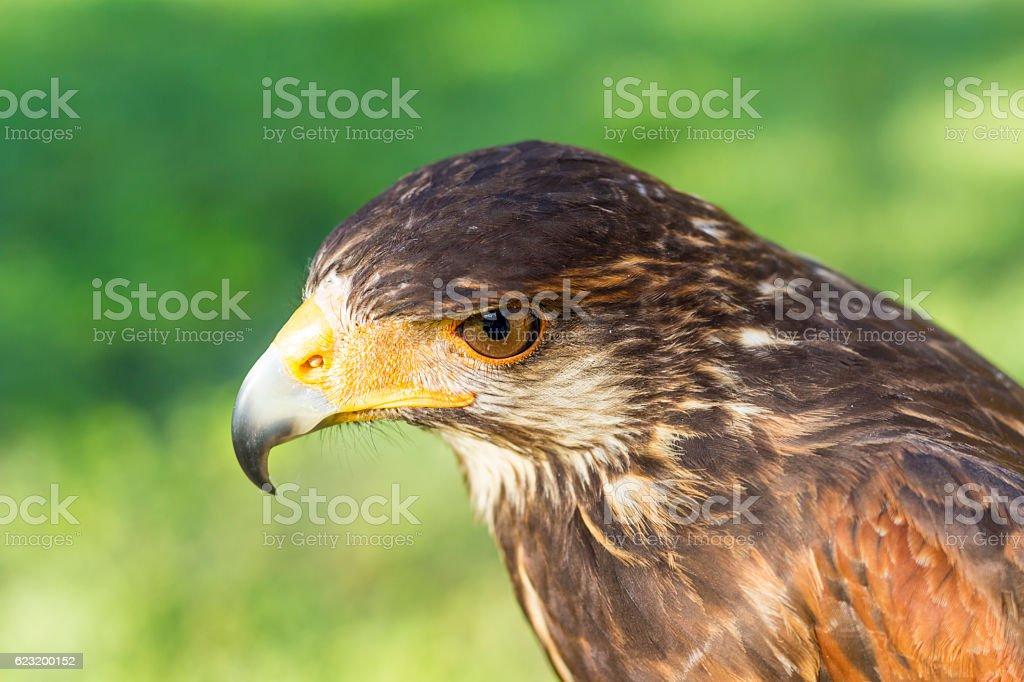 Harris hawk portrait stock photo