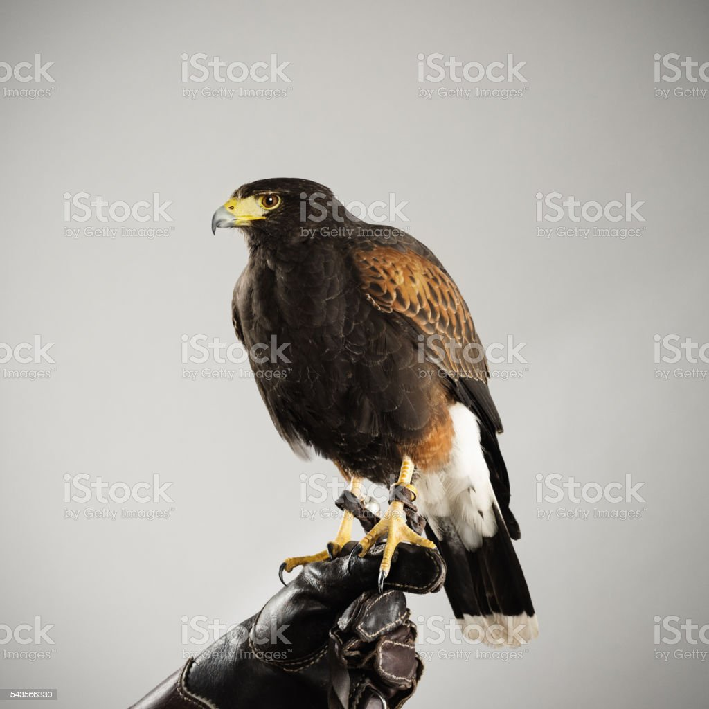 Harris hawk staying in a prey glove stock photo