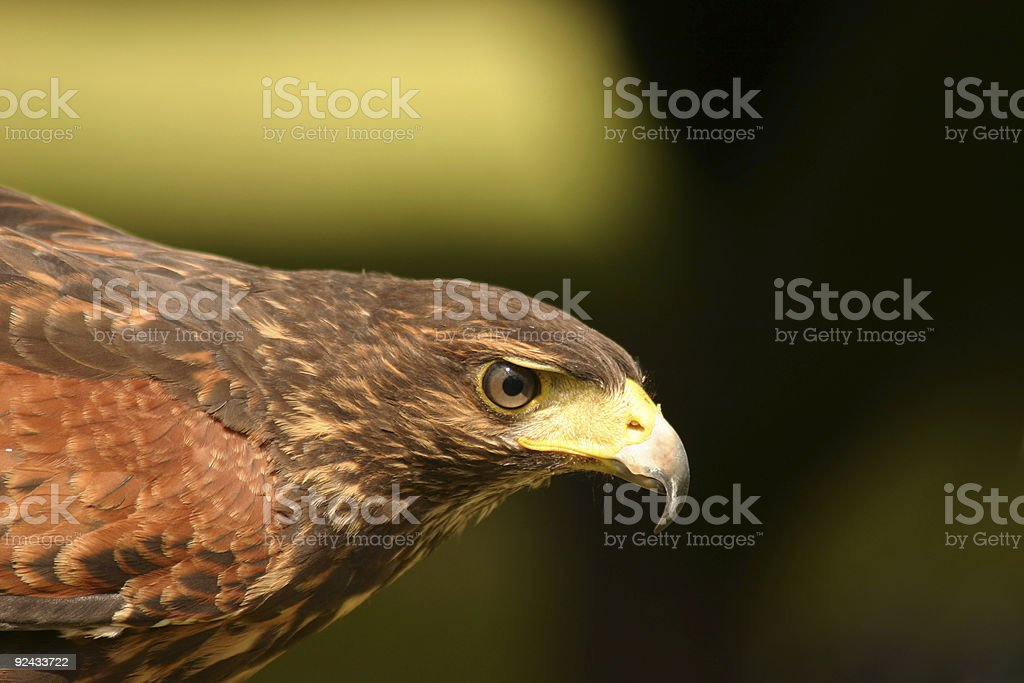 Harris Hawks Red Tail royalty-free stock photo