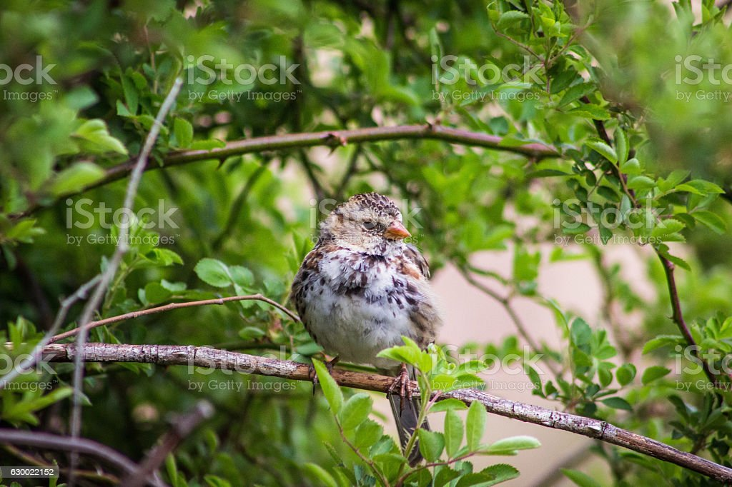 Harris's sparrow perched stock photo