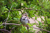 Harris's sparrow perched