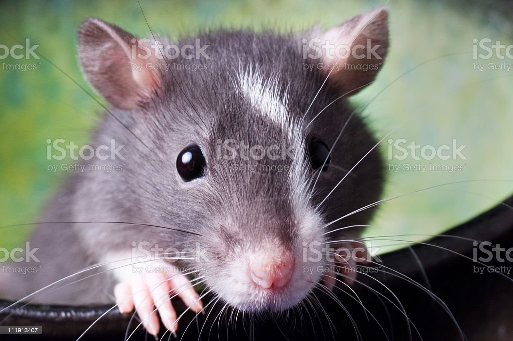 Harry the Rat stock photo