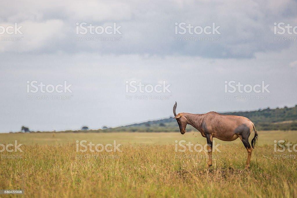 Hartebeest (antelope) in the Maasai Mara national park (Kenya) stock photo