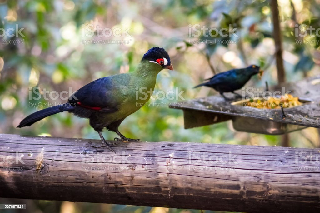 A single Hartlaub\'s Turaco sits on beam, waiting to eat food. Shot in...