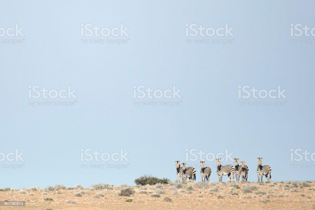 Hartmann's Mountain Zebra stock photo