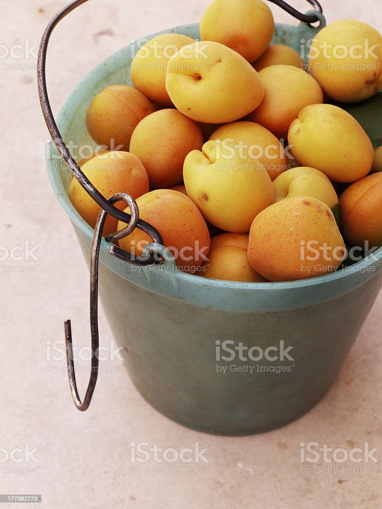 harvest apricot farming in the country nature royalty-free stock photo