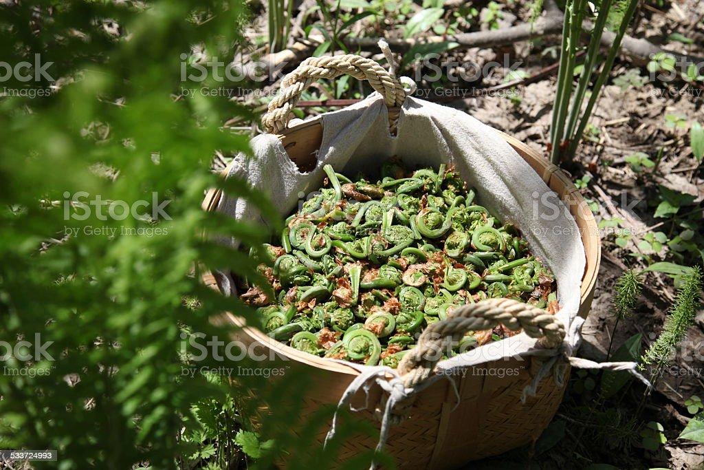 Harvest basket, full of fiddlehead fern buds stock photo