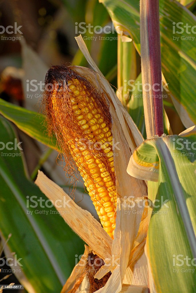 Harvest Corn Field royalty-free stock photo