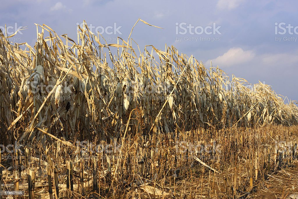 Harvest Cornfield royalty-free stock photo