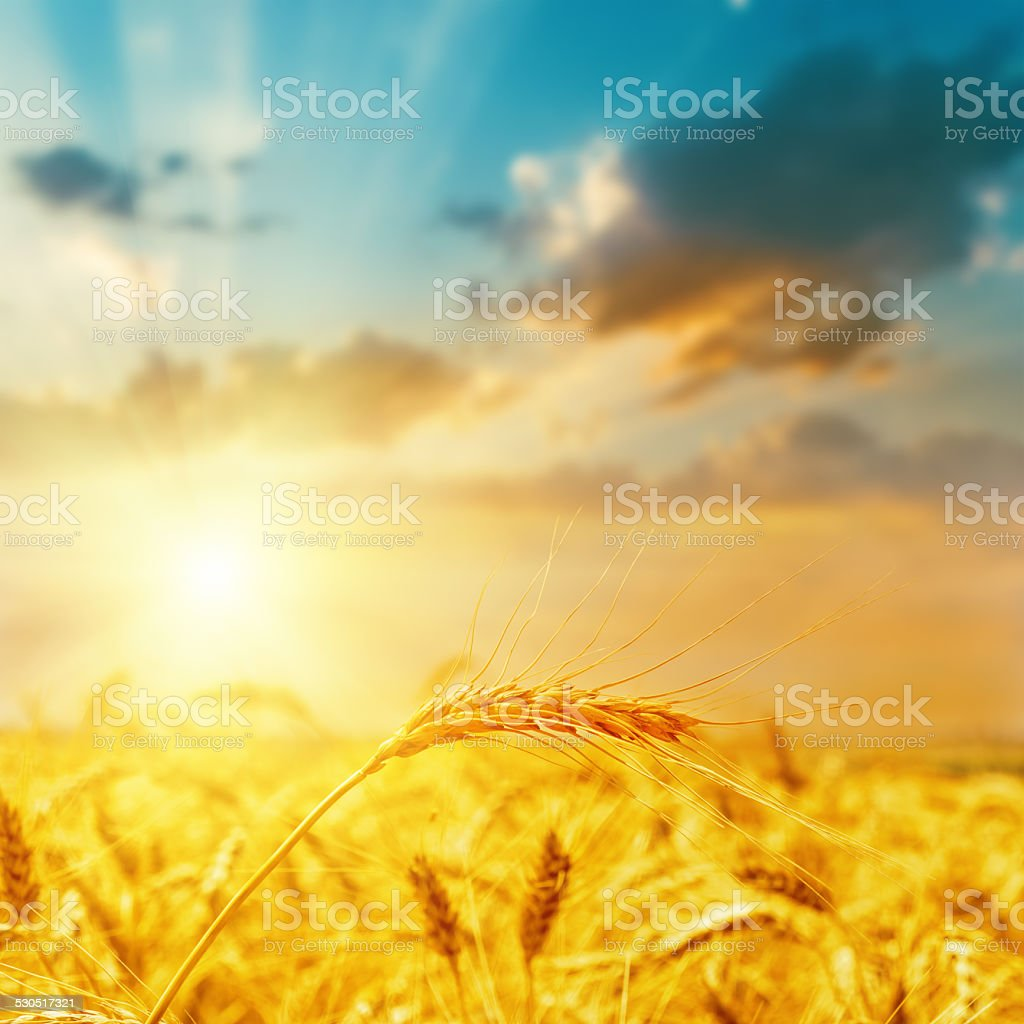 harvest field and sunset stock photo