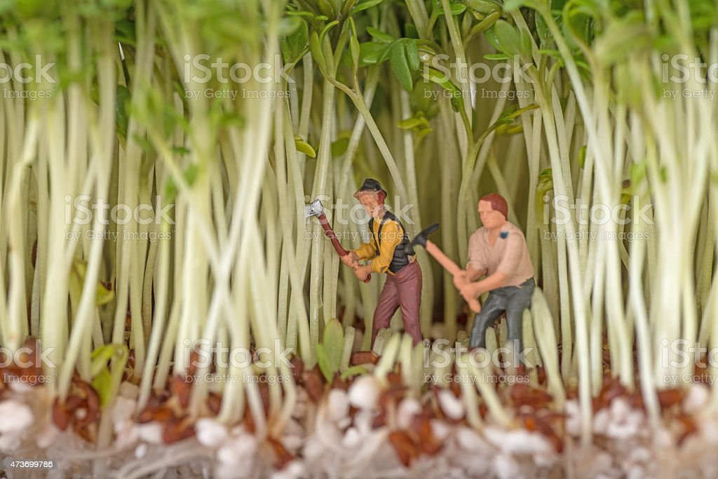 harvest fresh green cress stock photo
