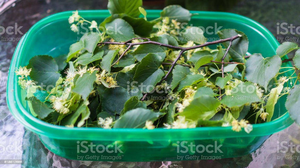 harvest from Linden or Basswood tree stock photo