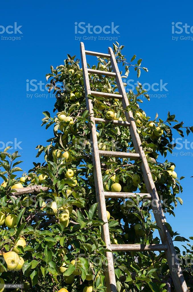 Harvest golden delicious apples stock photo