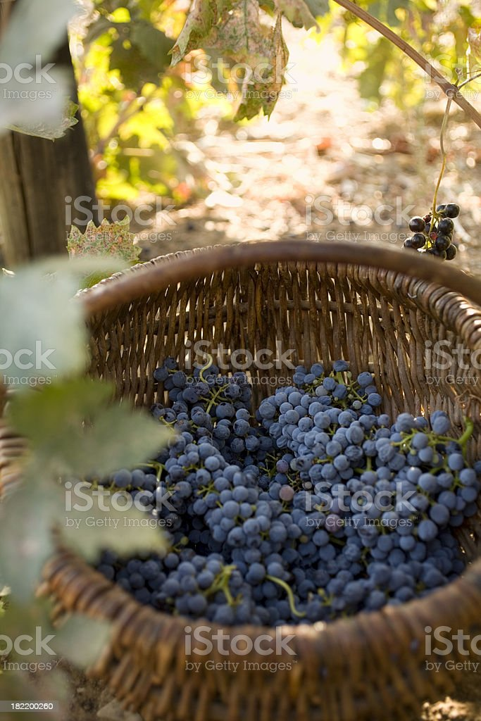 Harvest grapes royalty-free stock photo