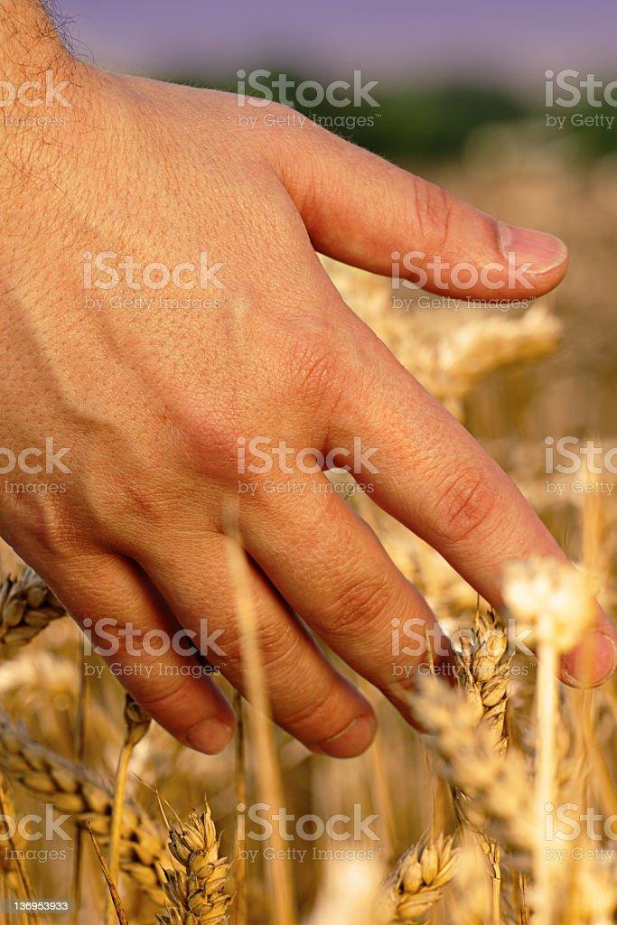 Harvest Hand royalty-free stock photo