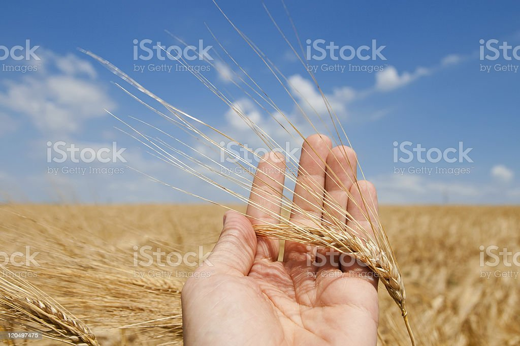 harvest in hand stock photo