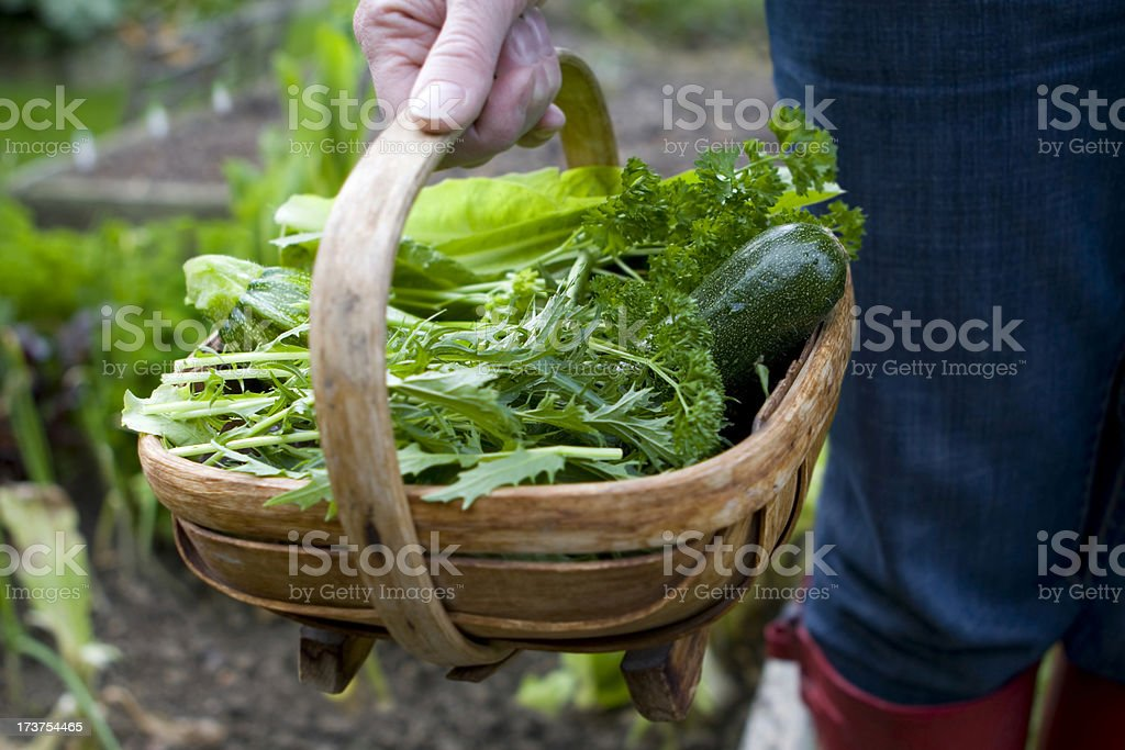 Harvest in the veg patch stock photo