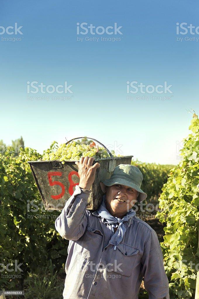Harvest in the vineyards stock photo