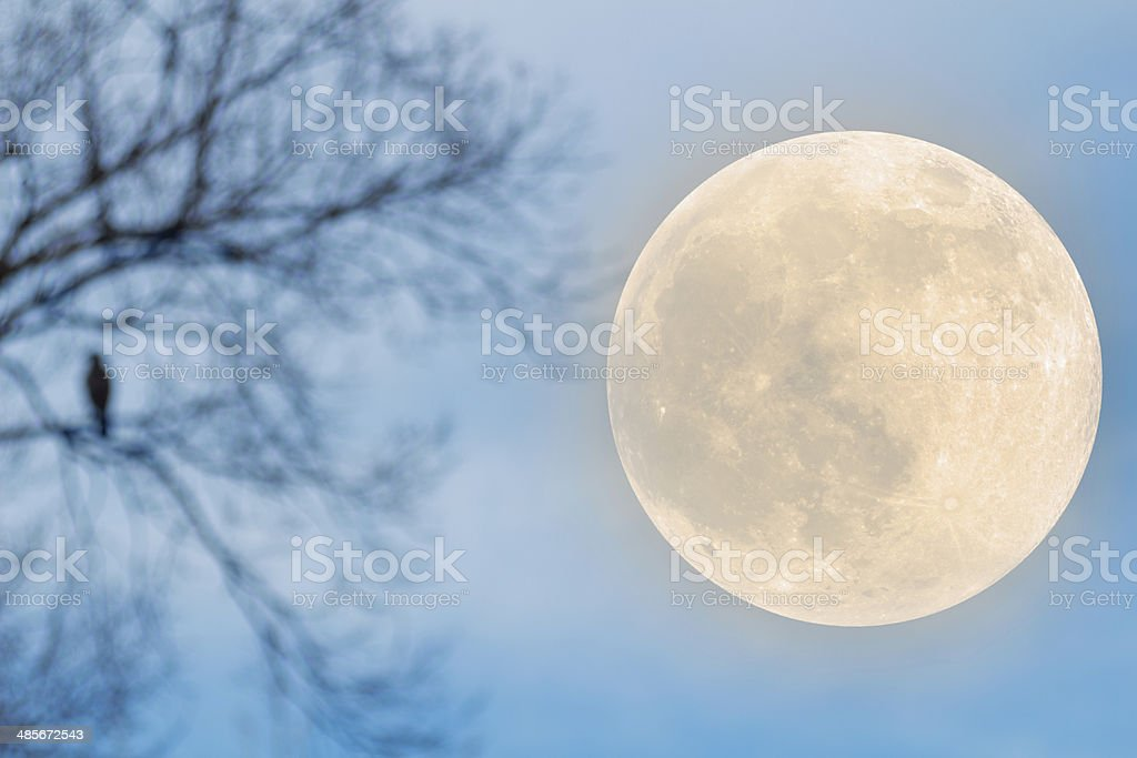 Harvest Moon Beside Raven on a Tree stock photo