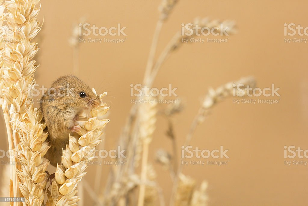 Harvest Mouse royalty-free stock photo