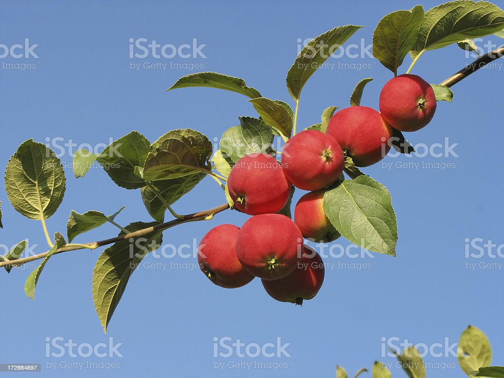 harvest of apples stock photo