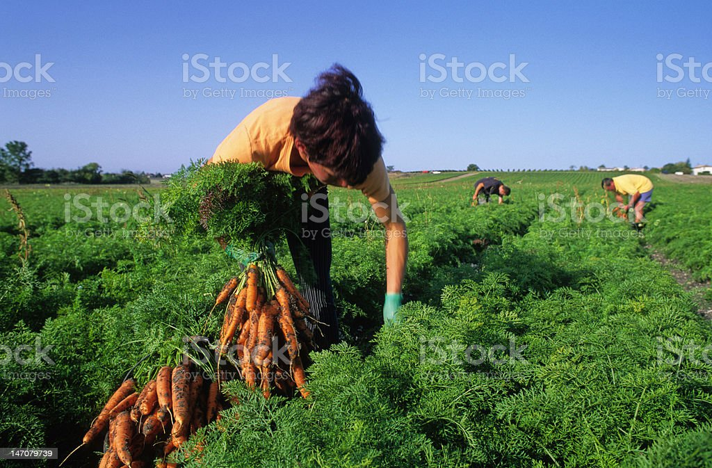 harvest of carrots stock photo