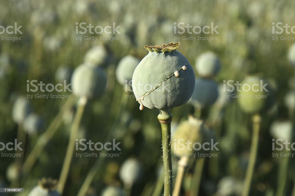 harvest of opium from poppy on the field stock photo