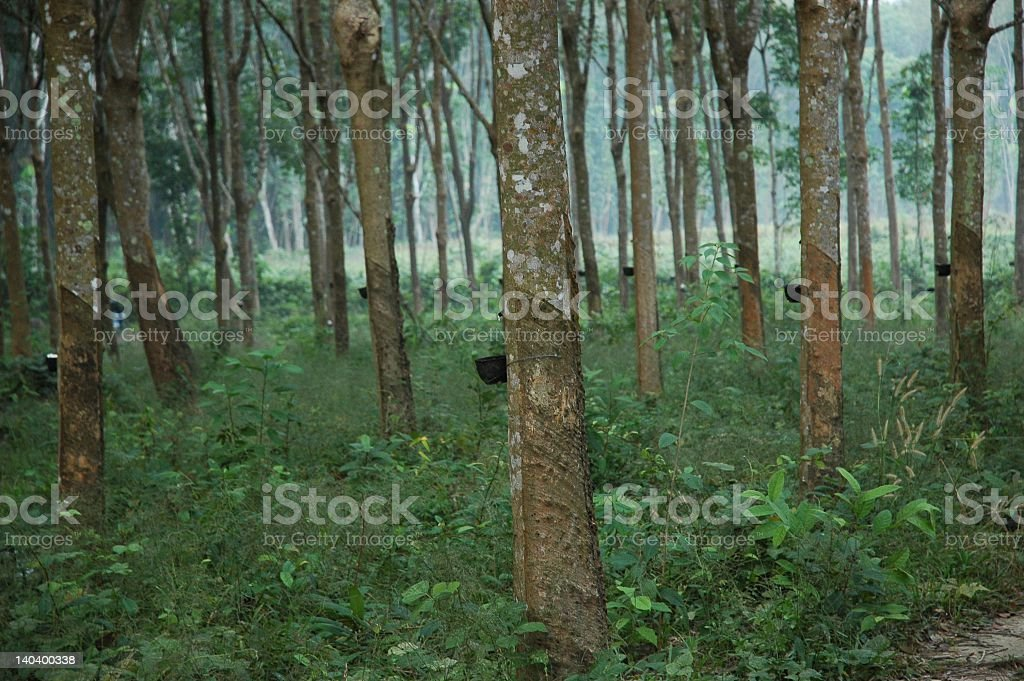Harvest of rubber royalty-free stock photo