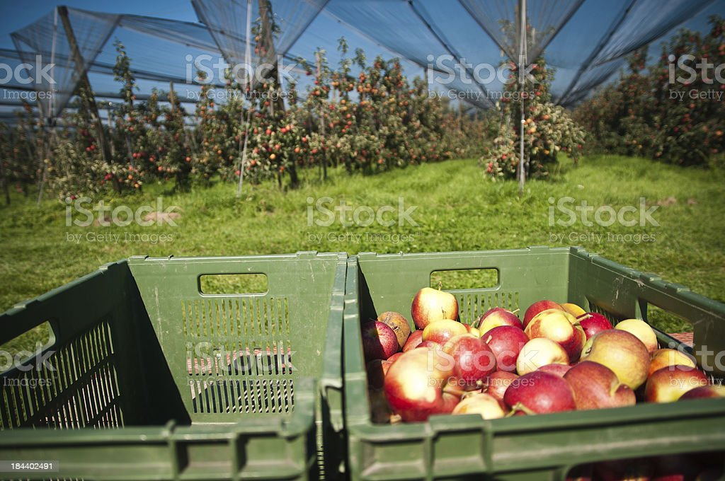 harvest on an apple plantation stock photo