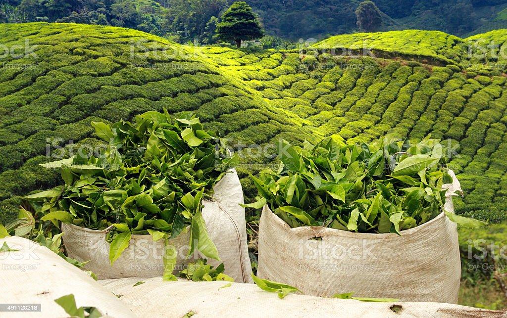 harvest on tea plantation stock photo