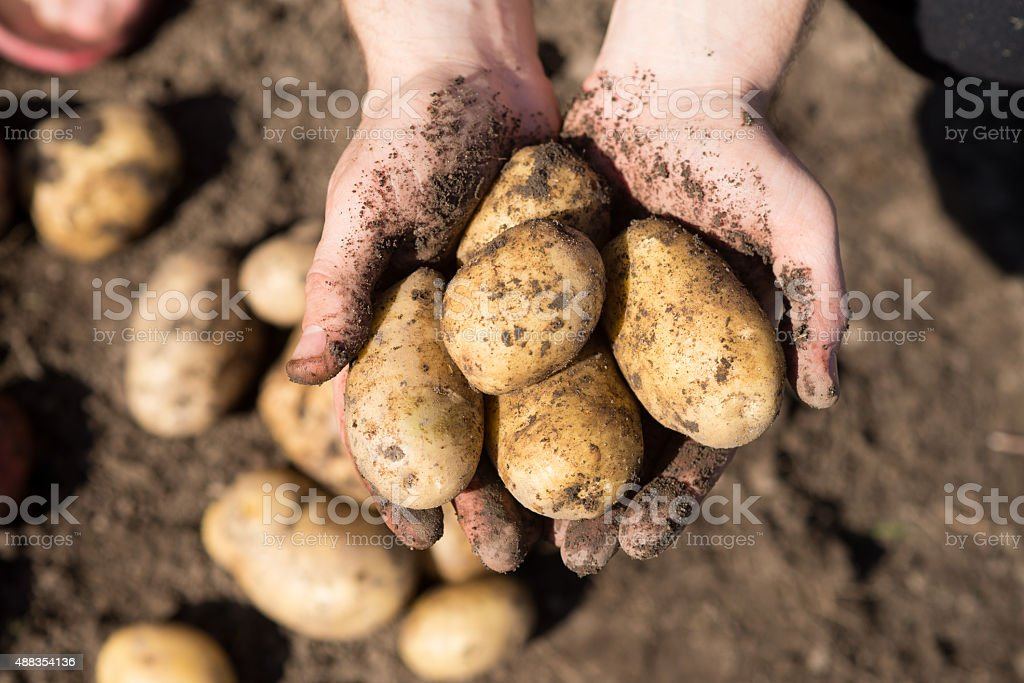 Harvest. Potato in hands, arms on ground background stock photo