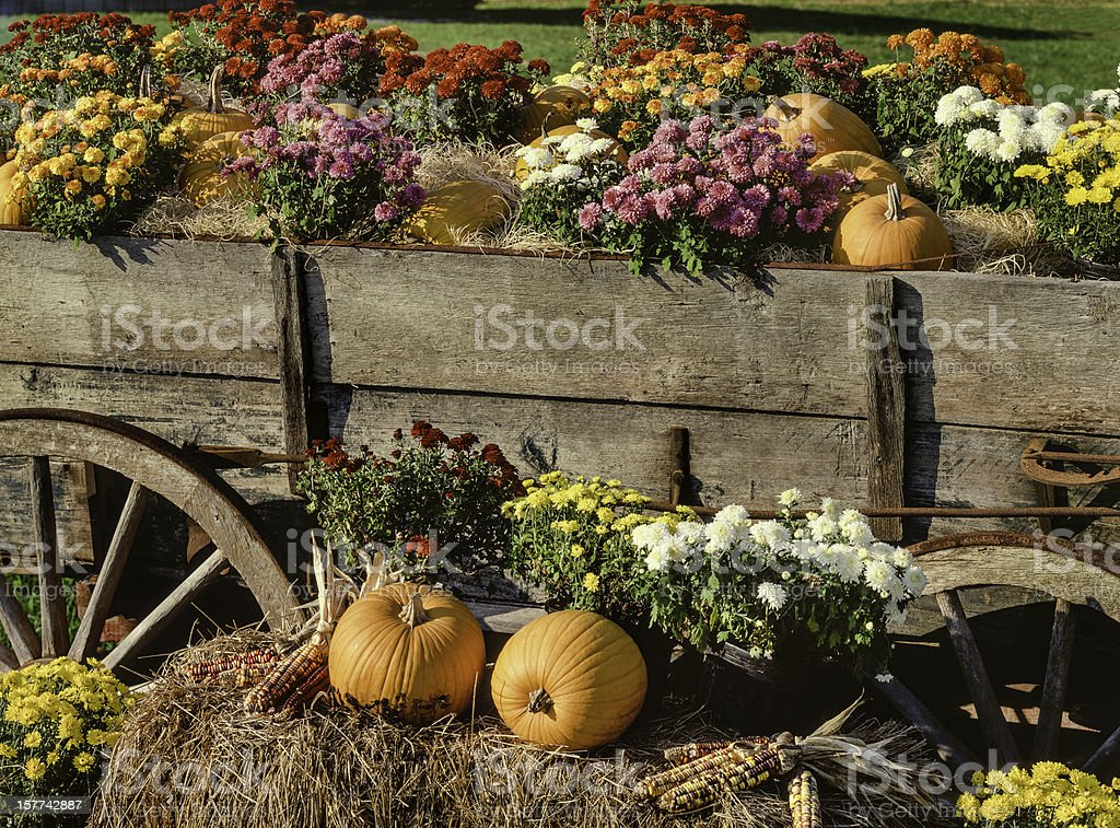 harvest pumpkins, chrysanthemums and antique farm wagon stock photo