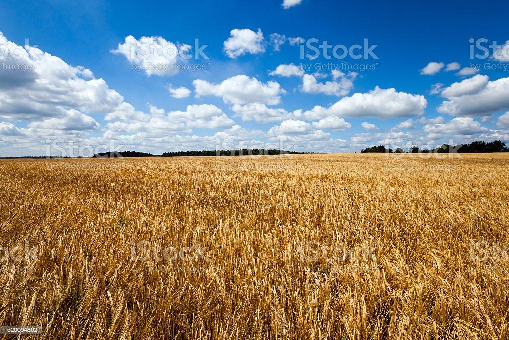 harvest ripe yellow cereals stock photo