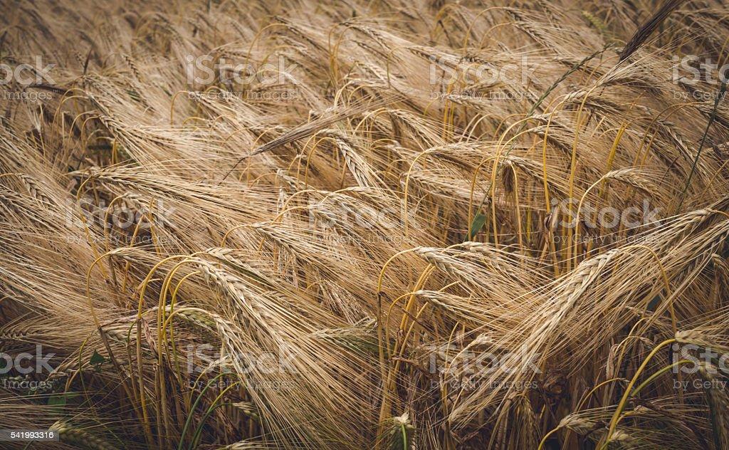 Harvest season. Field of ripe rye stock photo