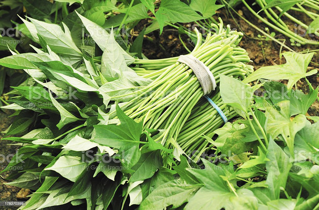 harvest sweet potato leaves stock photo