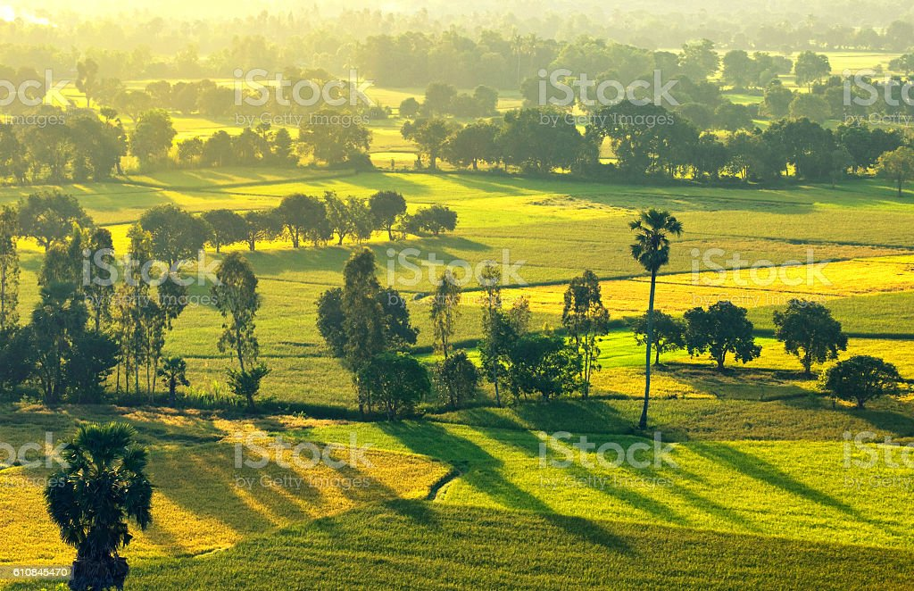 Harvest Tapa rice field in An Giang, Mekong Delta, Vietnam stock photo