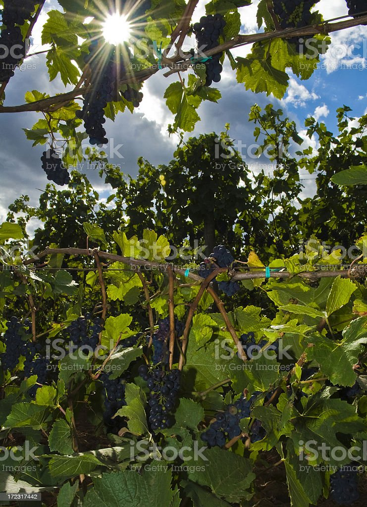 Harvest time in vineyard royalty-free stock photo