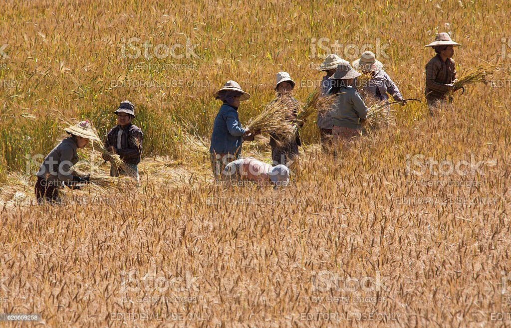 Harvest Time - Myanmar stock photo