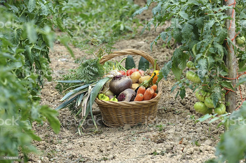 harvest vegetables two royalty-free stock photo