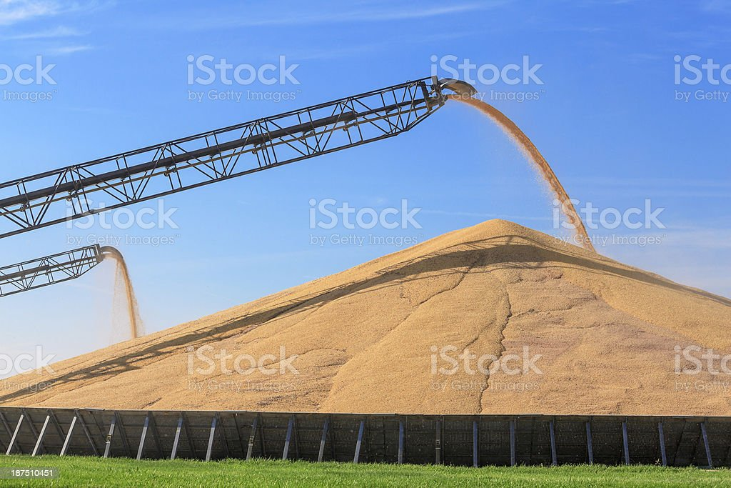 Harvested corn being stored on the ground. stock photo
