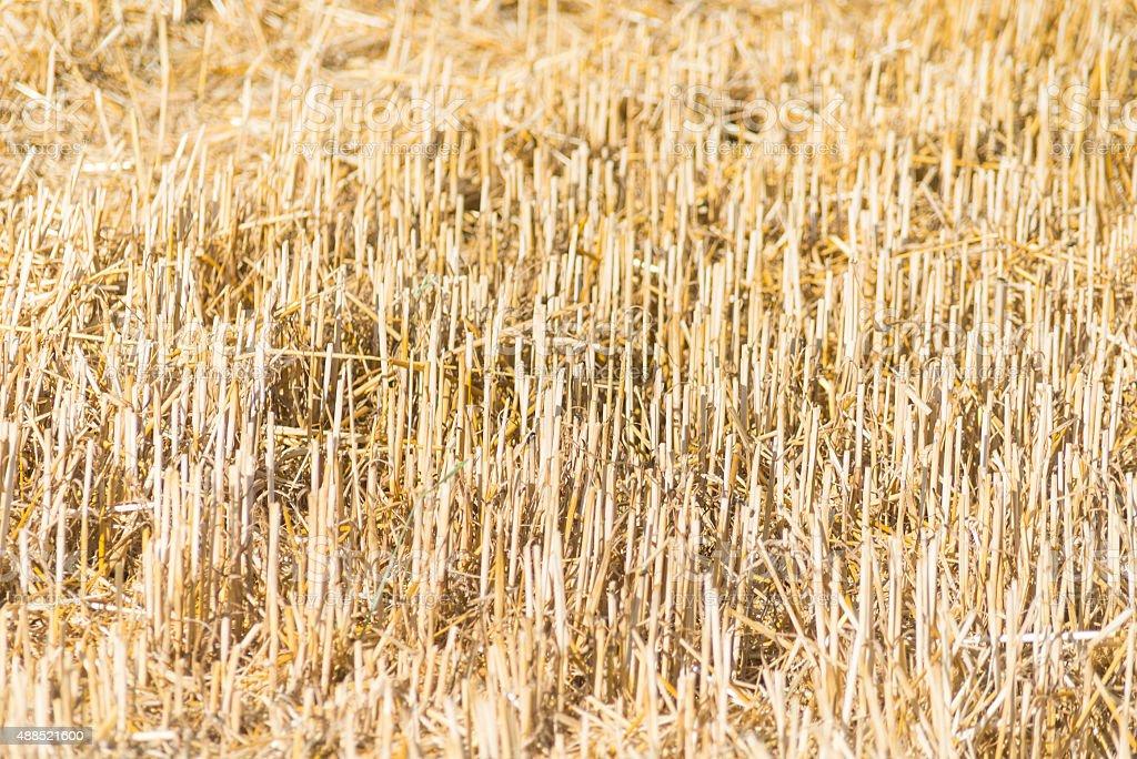 harvested corn field stock photo