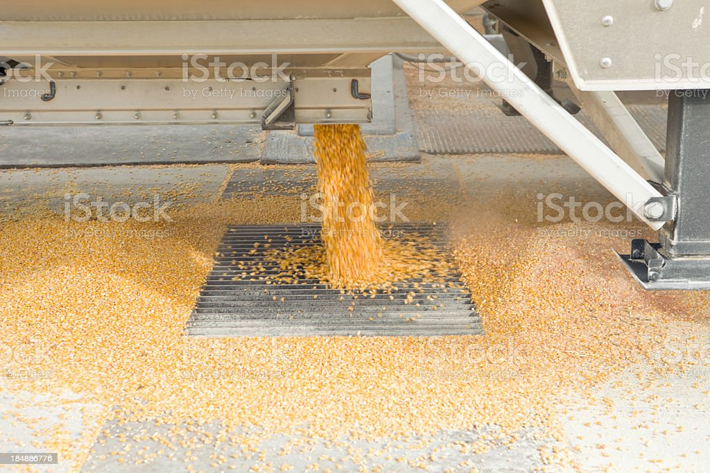 Harvested Corn Unloading from Semi into Elevator stock photo