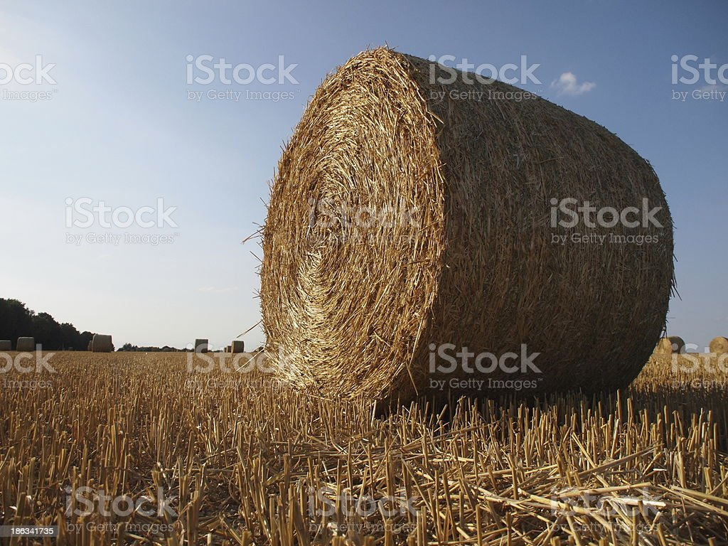 Harvested cornfield royalty-free stock photo